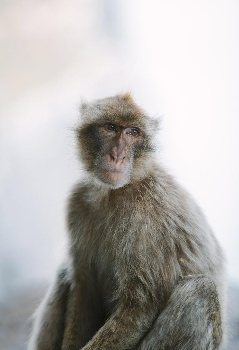 Gibraltar Monkey – The Residence